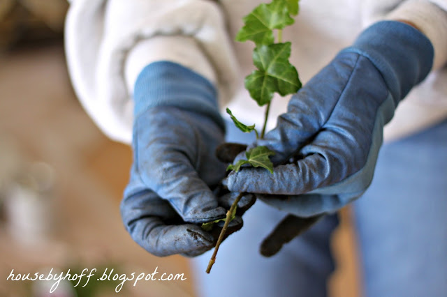 Blue gloved hands holding the piece of ivy.