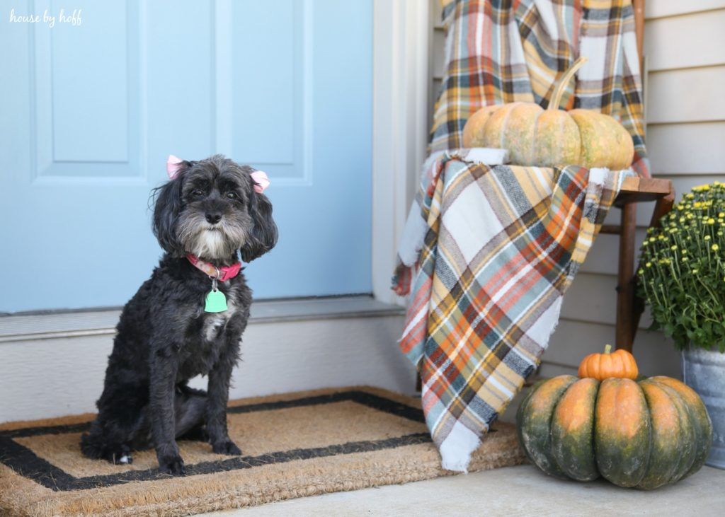 Little black dog on front porch beside the pumpkins, in front of light blue door.